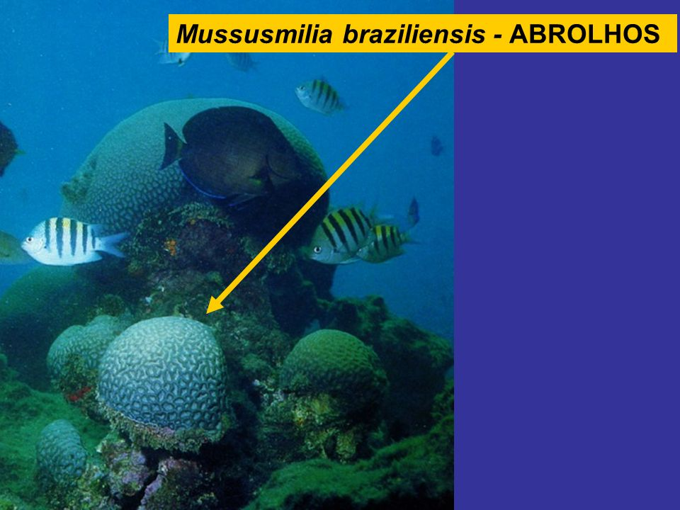 Mussusmilia braziliensis - ABROLHOS