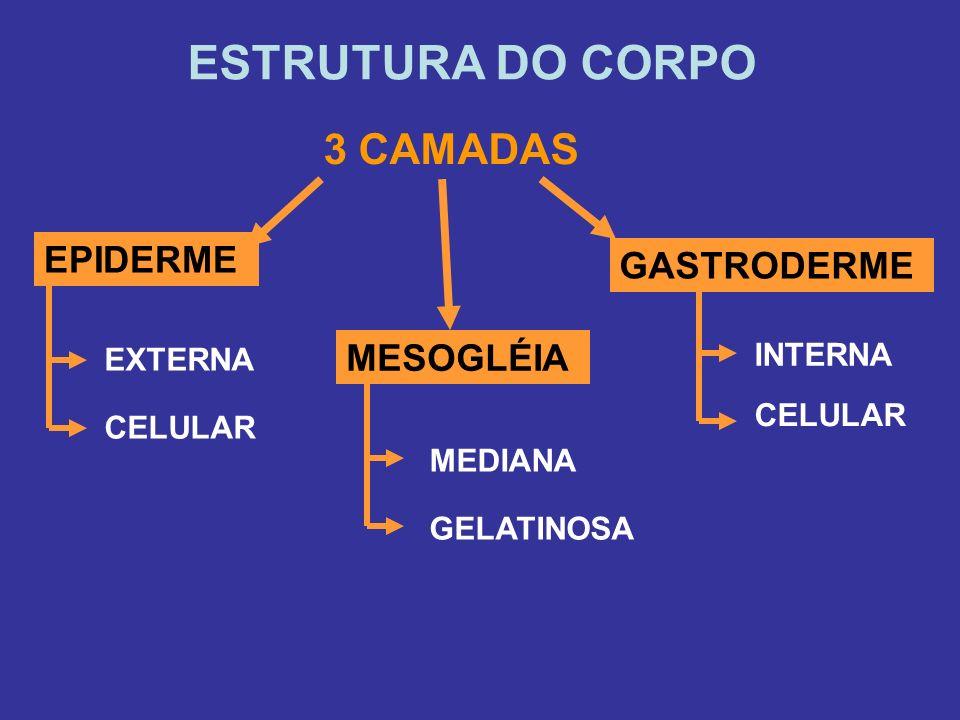 ESTRUTURA DO CORPO EPIDERME 3 CAMADAS GASTRODERME MESOGLÉIA EXTERNA CELULAR INTERNA CELULAR GELATINOSA MEDIANA