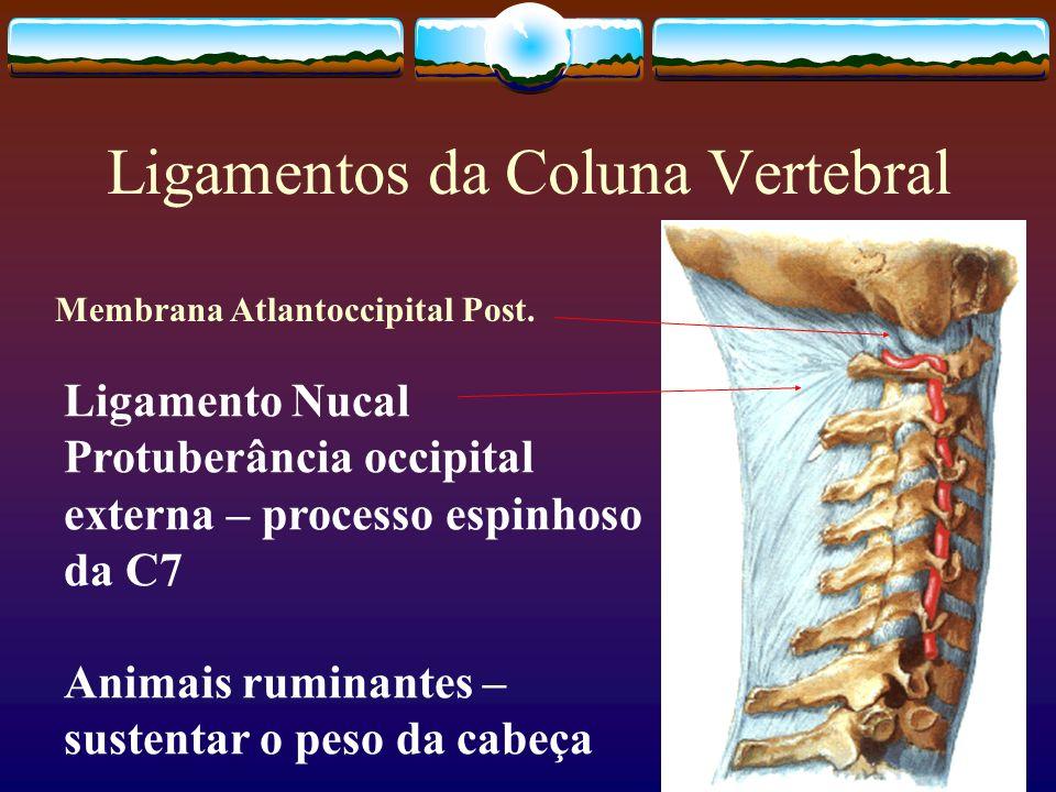 Ligamentos da Coluna Vertebral Ligamento Nucal Protuberância occipital externa – processo espinhoso da C7 Animais ruminantes – sustentar o peso da cab