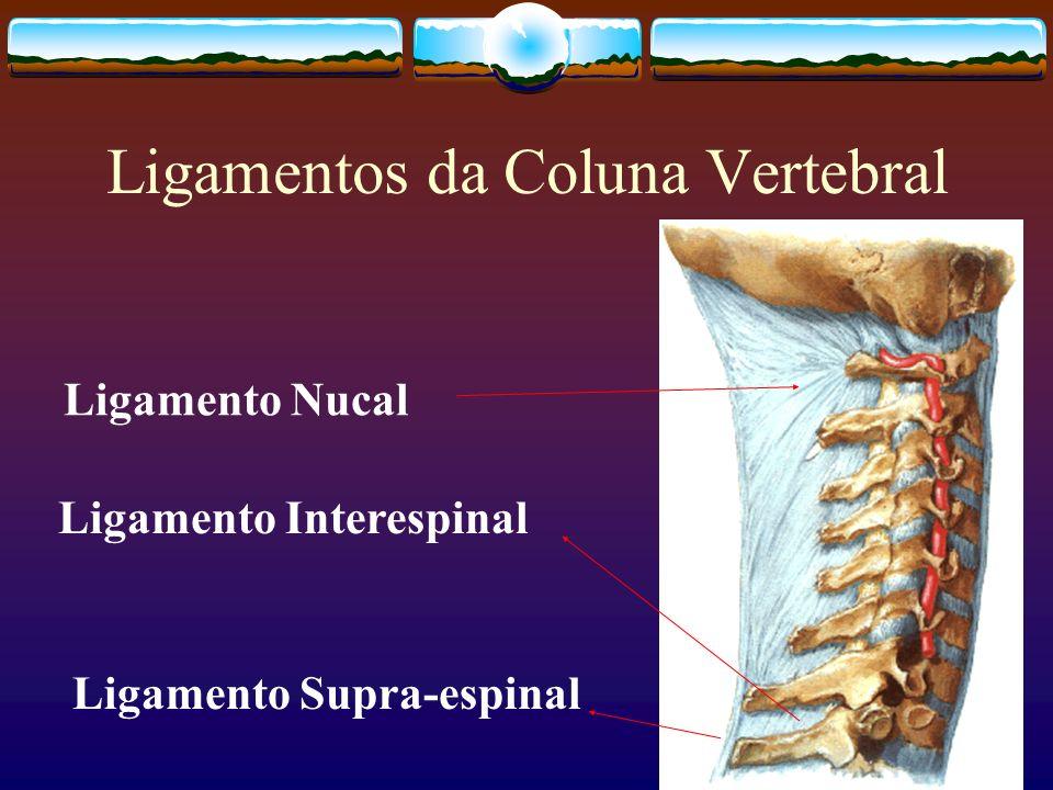 Ligamentos da Coluna Vertebral Ligamento Nucal Ligamento Interespinal Ligamento Supra-espinal