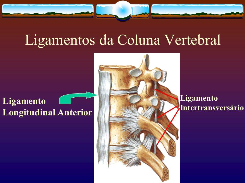 Ligamentos da Coluna Vertebral Ligamento Longitudinal Anterior Ligamento Intertransversário