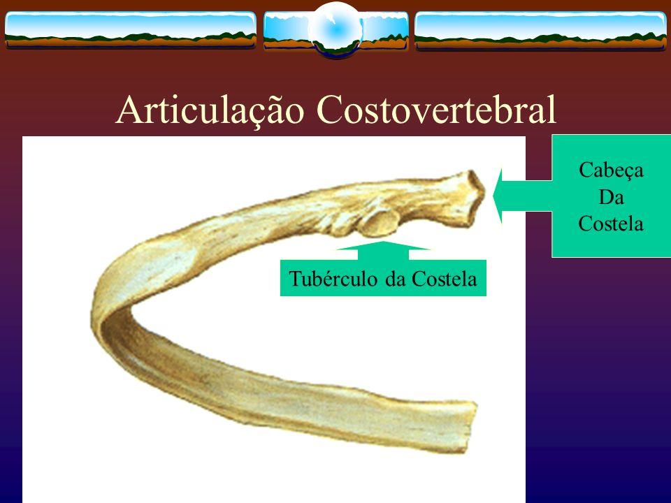 Articulação Costovertebral Tubérculo da Costela Cabeça Da Costela
