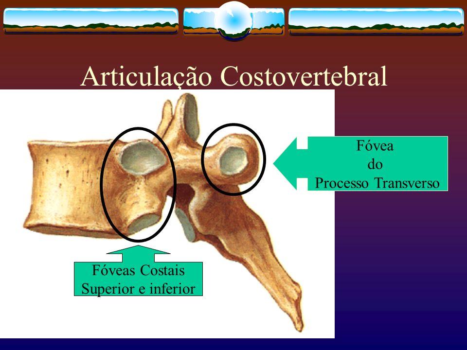 Articulação Costovertebral Fóveas Costais Superior e inferior Fóvea do Processo Transverso