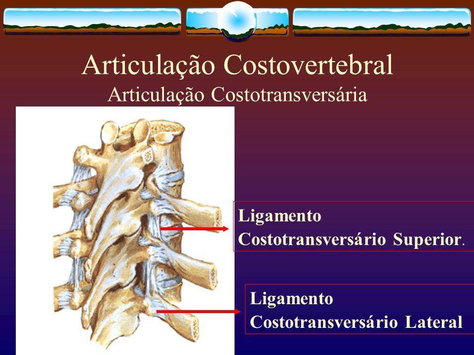 Articulação Costovertebral Articulação Costotransversária Ligamento Costotransversário Superior. Ligamento Costotransversário Lateral