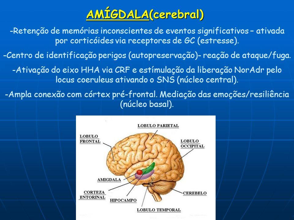 AMÍGDALA(cerebral) -Retenção de memórias inconscientes de eventos significativos – ativada por corticóides via receptores de GC (estresse). -Centro de