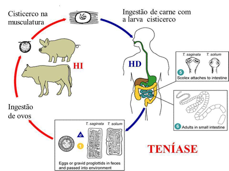 Ingestão de ovos Cisticerco na musculatura Ingestão de carne com a larva cisticerco HI HD TENÍASE