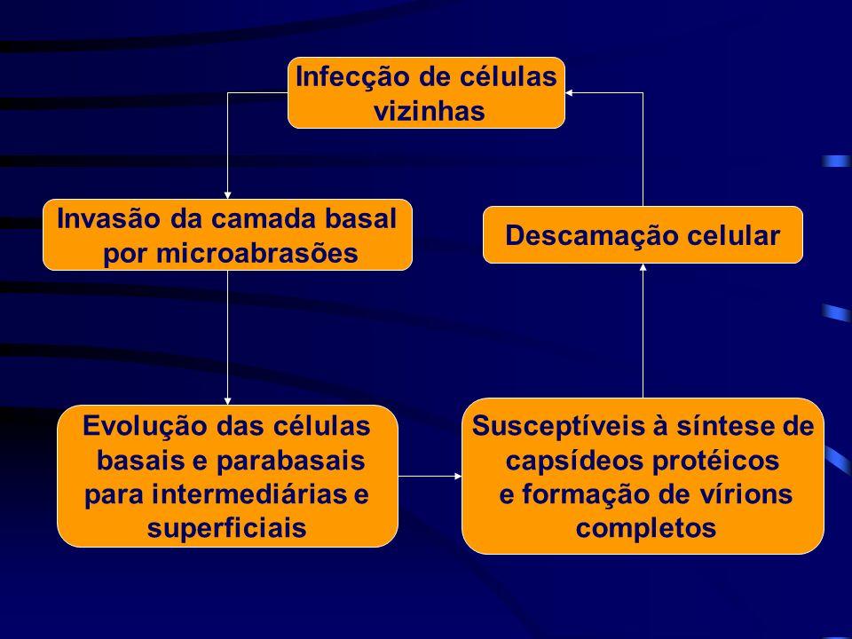 Invasão da camada basal por microabrasões Susceptíveis à síntese de capsídeos protéicos e formação de vírions completos Descamação celular Infecção de