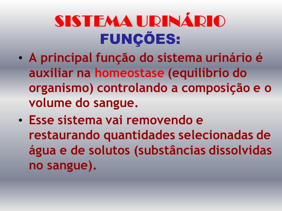SISTEMA URINÁRIO FUNÇÕES: A principal função do sistema urinário é auxiliar na homeostase (equilíbrio do organismo) controlando a composição e o volum