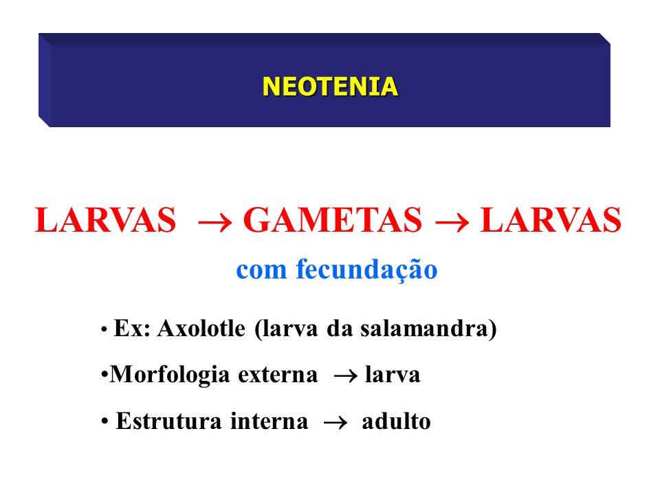 NEOTENIA LARVAS GAMETAS LARVAS com fecundação Ex: Axolotle (larva da salamandra) Morfologia externa larva Estrutura interna adulto
