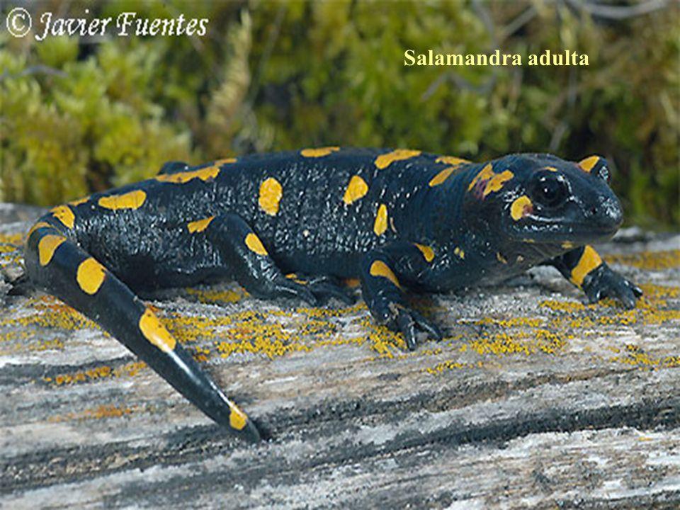Salamandra adulta
