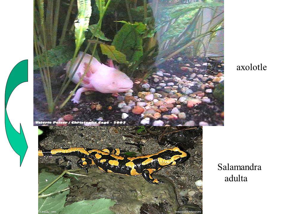 axolotle Salamandra adulta