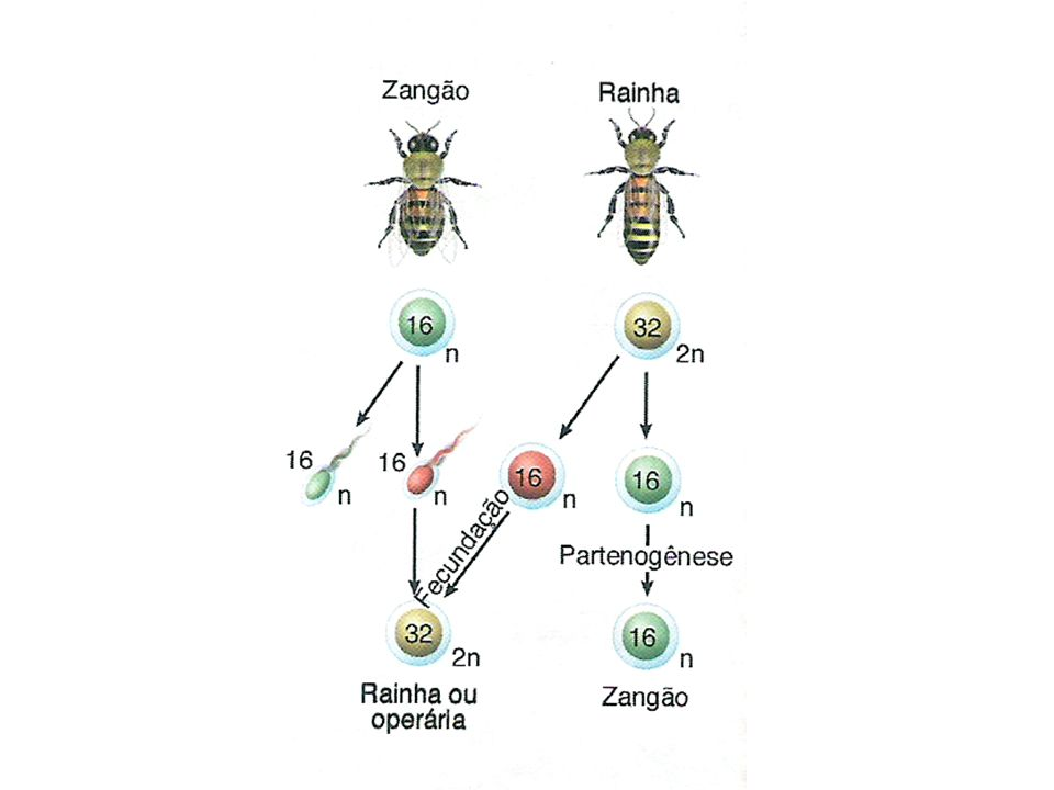 Fatores que influenciam a Neotenia: Hipofuncionamento da glândula tireóide Genéticos: gene (n) neotenia gene (N) desenvolvimento normal Temperatura: frio Ausência de luz iodo dissolvido na H 2 O