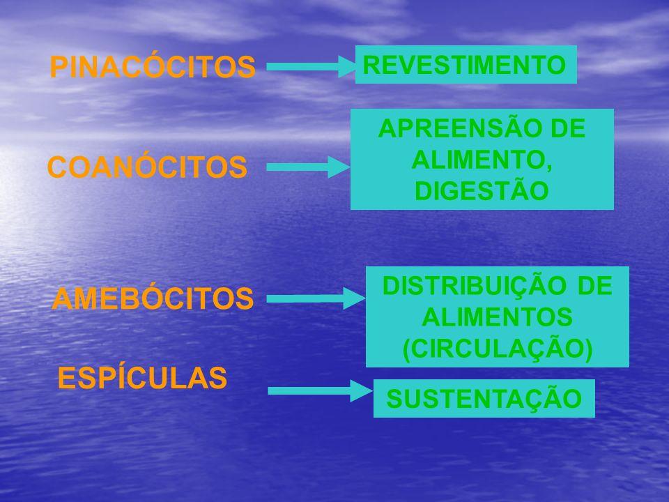 PINACÓCITOS REVESTIMENTO COANÓCITOS APREENSÃO DE ALIMENTO, DIGESTÃO AMEBÓCITOS DISTRIBUIÇÃO DE ALIMENTOS (CIRCULAÇÃO) ESPÍCULAS SUSTENTAÇÃO