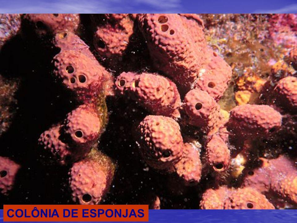 ORGANIZAÇÃO CORPORAL MESÊNQUIMA COM AMEBÓCITOS, ESPÍCULAS, REDE DE ESPONGINA PAREDE EXTERNA COM PINACÓCITOS PAREDE INTERNA COM COANÓCITOS CAVIDADE INTERNA: ESPONGIOCELE OU ÁTRIO