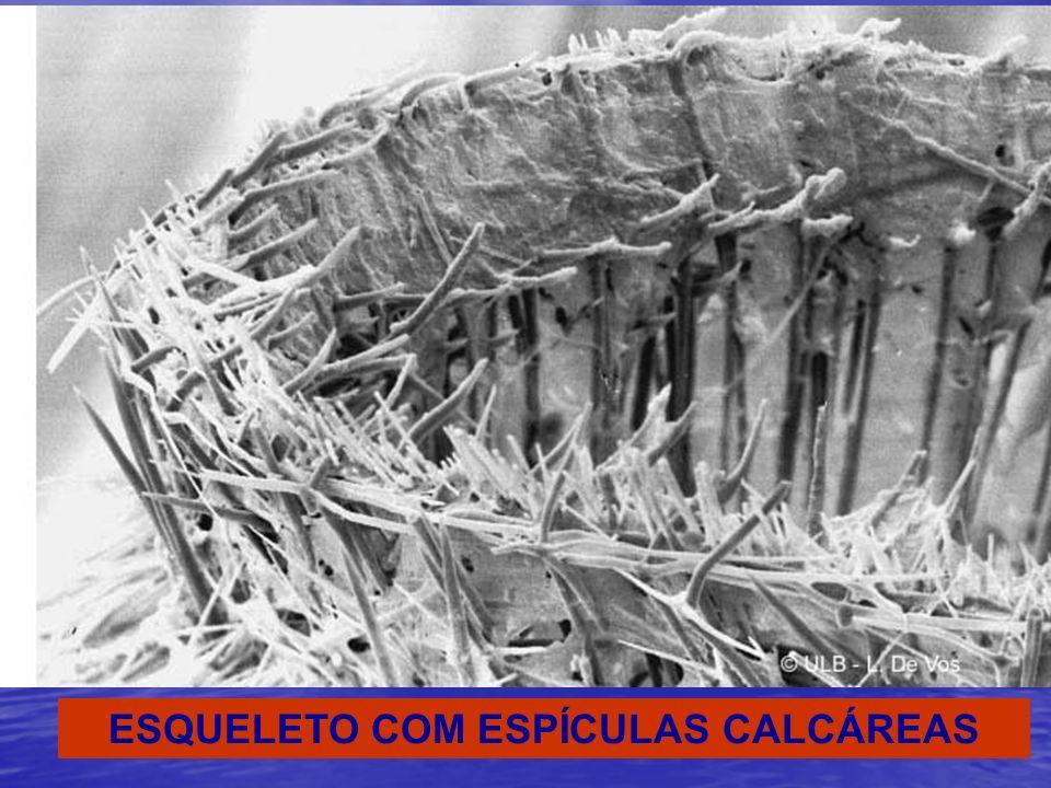 ESQUELETO COM ESPÍCULAS CALCÁREAS
