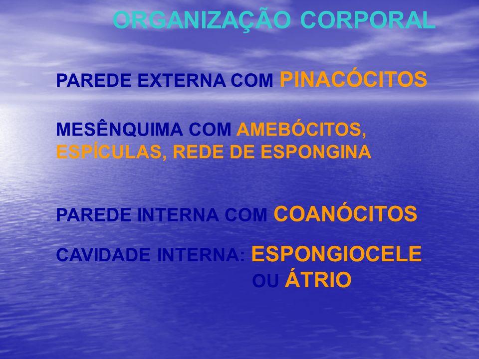 ORGANIZAÇÃO CORPORAL MESÊNQUIMA COM AMEBÓCITOS, ESPÍCULAS, REDE DE ESPONGINA PAREDE EXTERNA COM PINACÓCITOS PAREDE INTERNA COM COANÓCITOS CAVIDADE INT