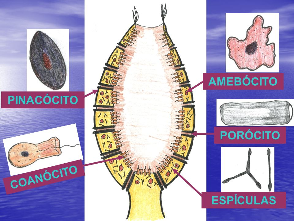 SISTEMA EXCRETOR Ausente Ausente Excreções lançadas diretamente pelas células no ambiente Excreções lançadas diretamente pelas células no ambiente