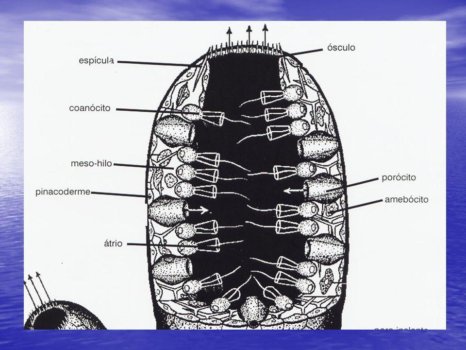 SISTEMA NERVOSO Ausente Ausente Algumas células nervosas isoladas Algumas células nervosas isoladas