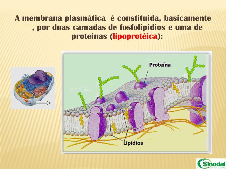 A membrana plasmática é constituída, basicamente, por duas camadas de fosfolipídios e uma de proteínas (lipoprotéica):