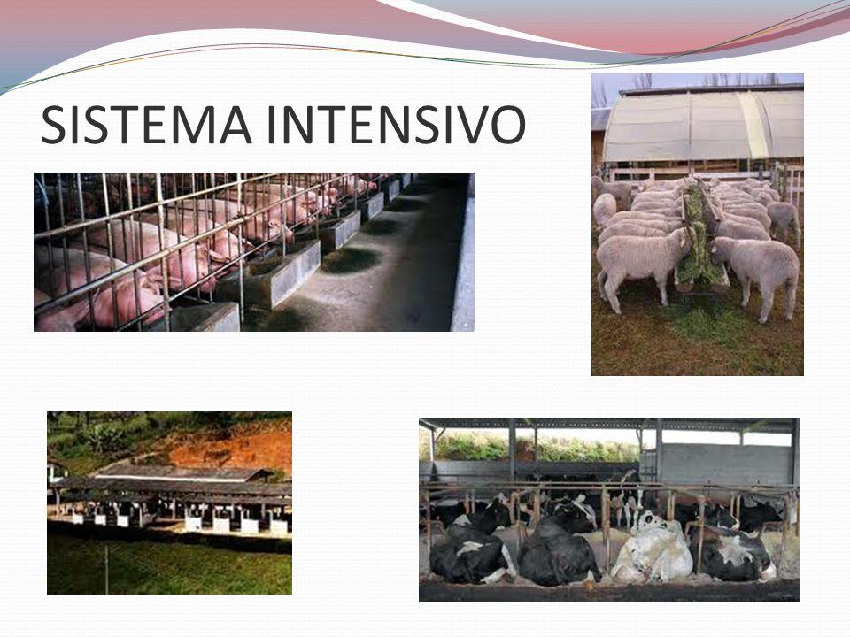 SISTEMA SEMI-INTENSIVO É um sistema em que o animal fica ora livre no pasto, ora recolhido no galpão.
