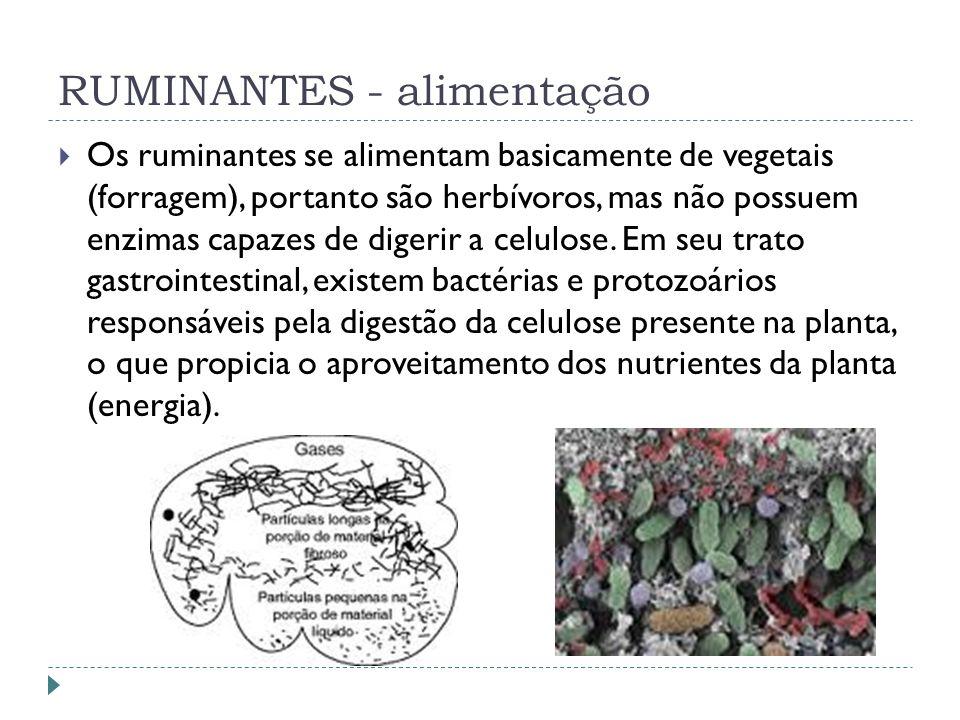 RUMINANTES - alimentação Os ruminantes se alimentam basicamente de vegetais (forragem), portanto são herbívoros, mas não possuem enzimas capazes de di