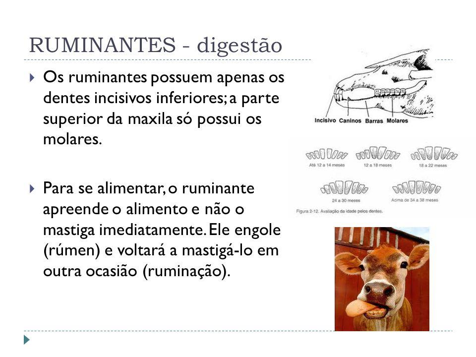RUMINANTES - digestão Os ruminantes possuem apenas os dentes incisivos inferiores; a parte superior da maxila só possui os molares. Para se alimentar,