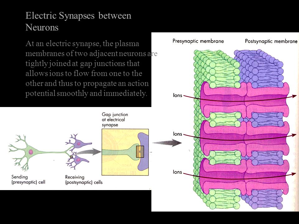 Electric Synapses between Neurons At an electric synapse, the plasma membranes of two adjacent neurons are tightly joined at gap junctions that allows ions to flow from one to the other and thus to propagate an action potential smoothly and immediately.