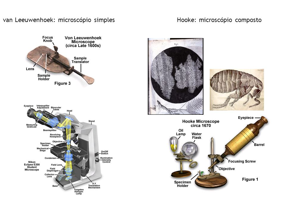 van Leeuwenhoek: microscópio simplesHooke: microscópio composto