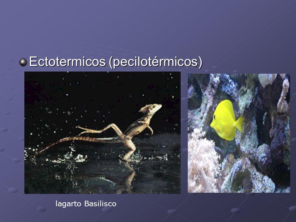 Ectotermicos (pecilotérmicos) lagarto Basilisco