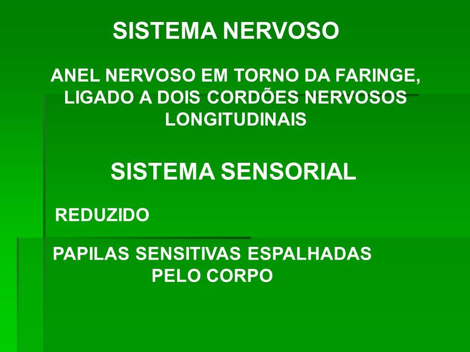 SISTEMA NERVOSO ANEL NERVOSO EM TORNO DA FARINGE, LIGADO A DOIS CORDÕES NERVOSOS LONGITUDINAIS SISTEMA SENSORIAL REDUZIDO PAPILAS SENSITIVAS ESPALHADA