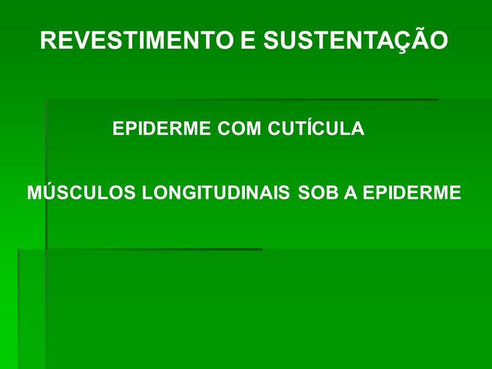 REVESTIMENTO E SUSTENTAÇÃO MÚSCULOS LONGITUDINAIS SOB A EPIDERME EPIDERME COM CUTÍCULA
