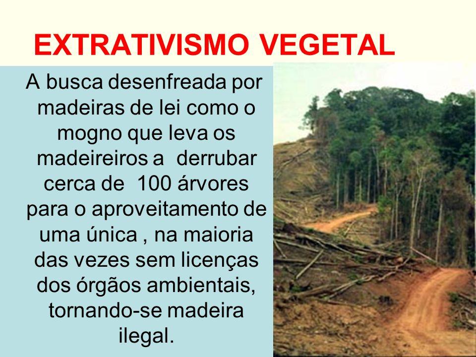 EXTRATIVISMO VEGETAL A busca desenfreada por madeiras de lei como o mogno que leva os madeireiros a derrubar cerca de 100 árvores para o aproveitament