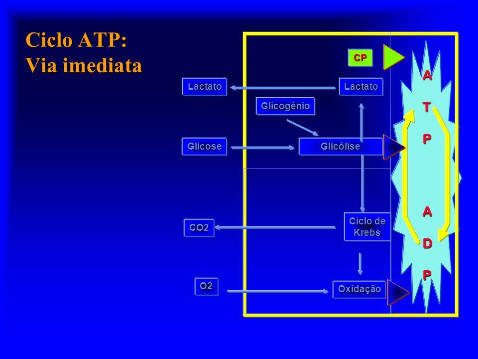 Ciclo ATP ATPADP Glicogênio Glicólise Oxidação Ciclo de Krebs O2 CO2 Glicose CP LactatoLactato