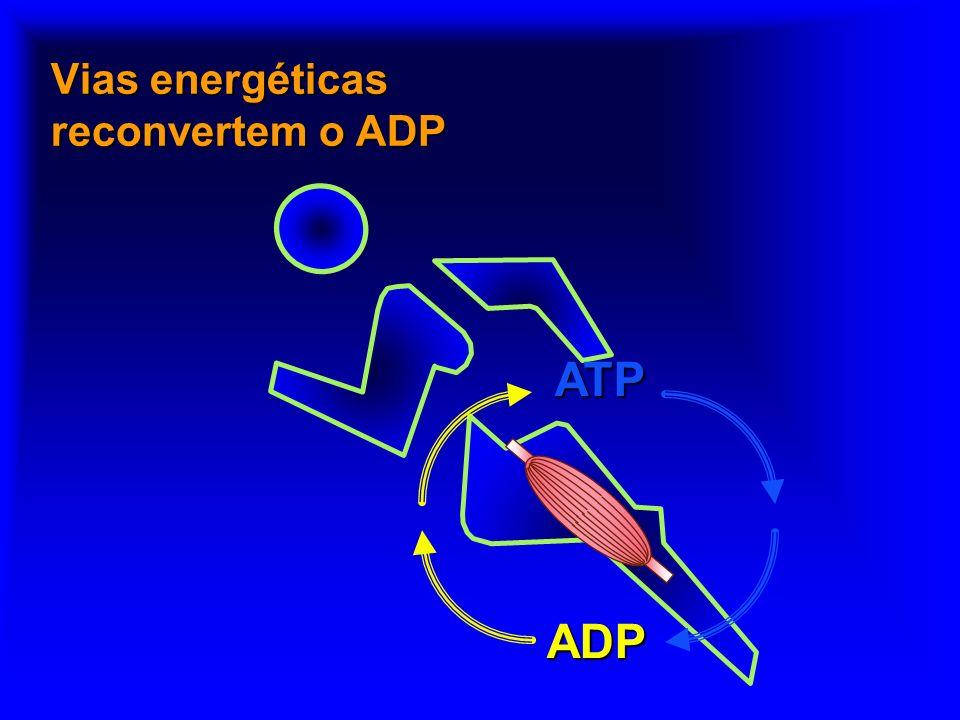 O ATP fornece a energia química para a contração ATP