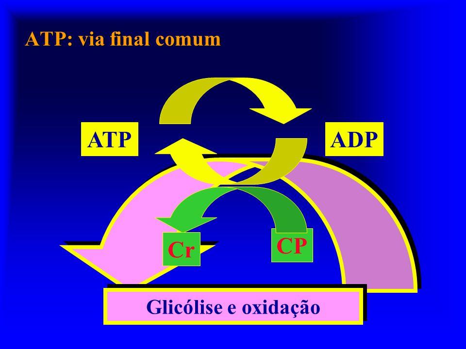 ATPADP Glicogênio Glicólise Oxidação Krebs O2 CO2 Glicose CP LactatoLactato Ciclo ATP: Via imediata