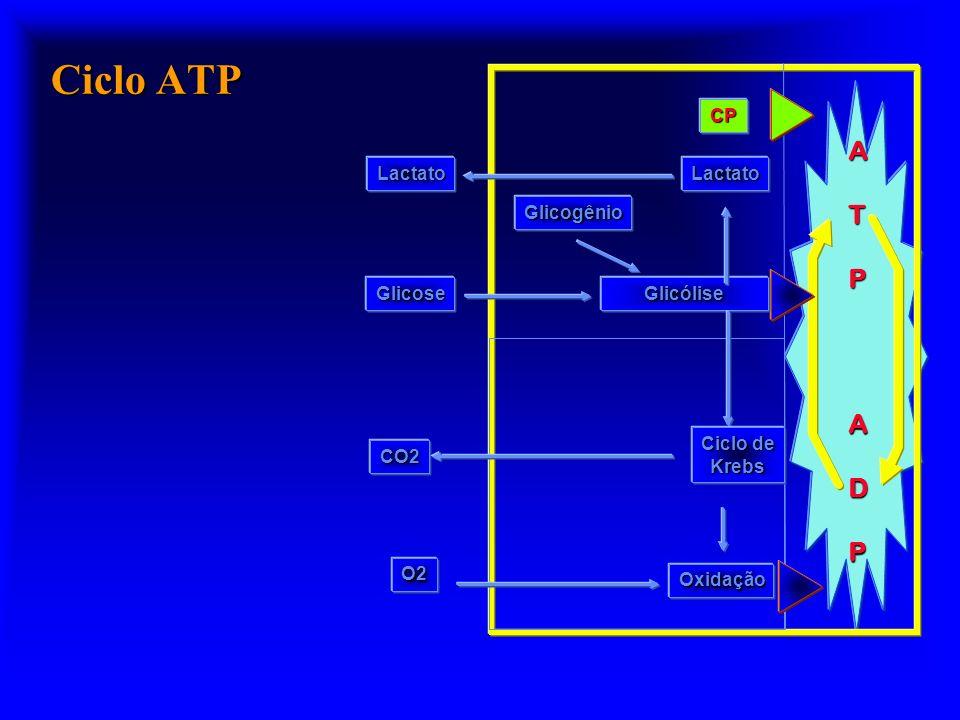 ATPADP Glicogênio Glicólise Oxidação Ciclo de Krebs O2 CO2 Glicose CP LactatoLactato Ciclo ATP