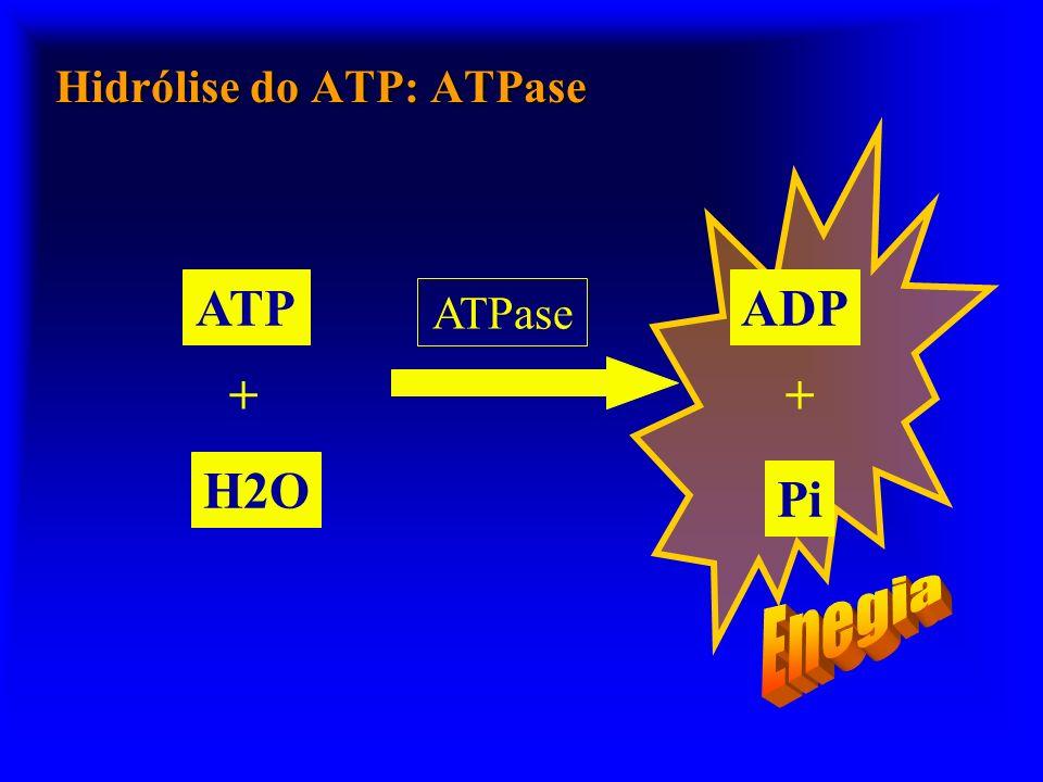 Hidrólise do ATP: ATPase ATPase ATP H2O + ADP Pi +