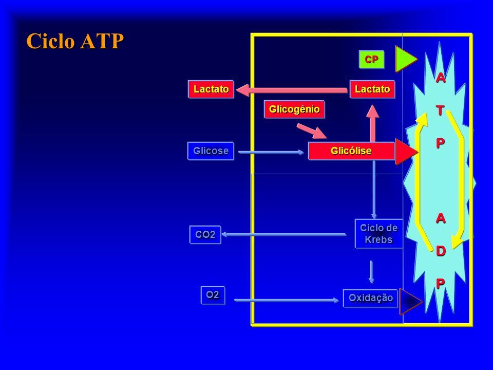 Ciclo ATP ATPADP Oxidação Ciclo de Krebs O2 CO2 Glicose CP Glicogênio Glicólise LactatoLactato
