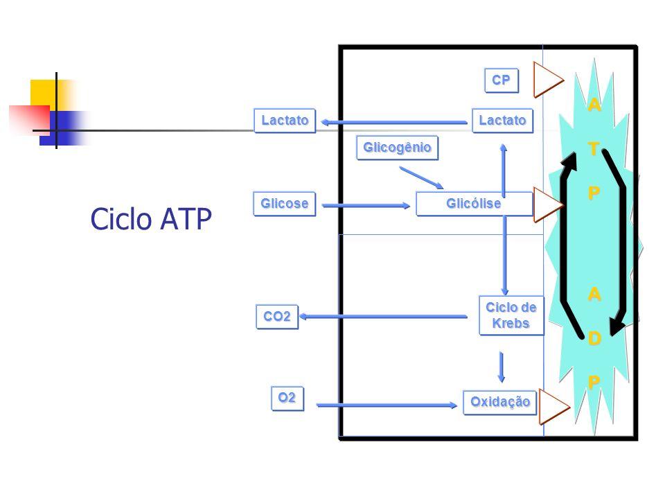 ATPADP Glicogênio Glicólise Oxidação Krebs O2 CO2 Glicose CP LactatoLactato Ciclo ATP: Anaeróbia Alática