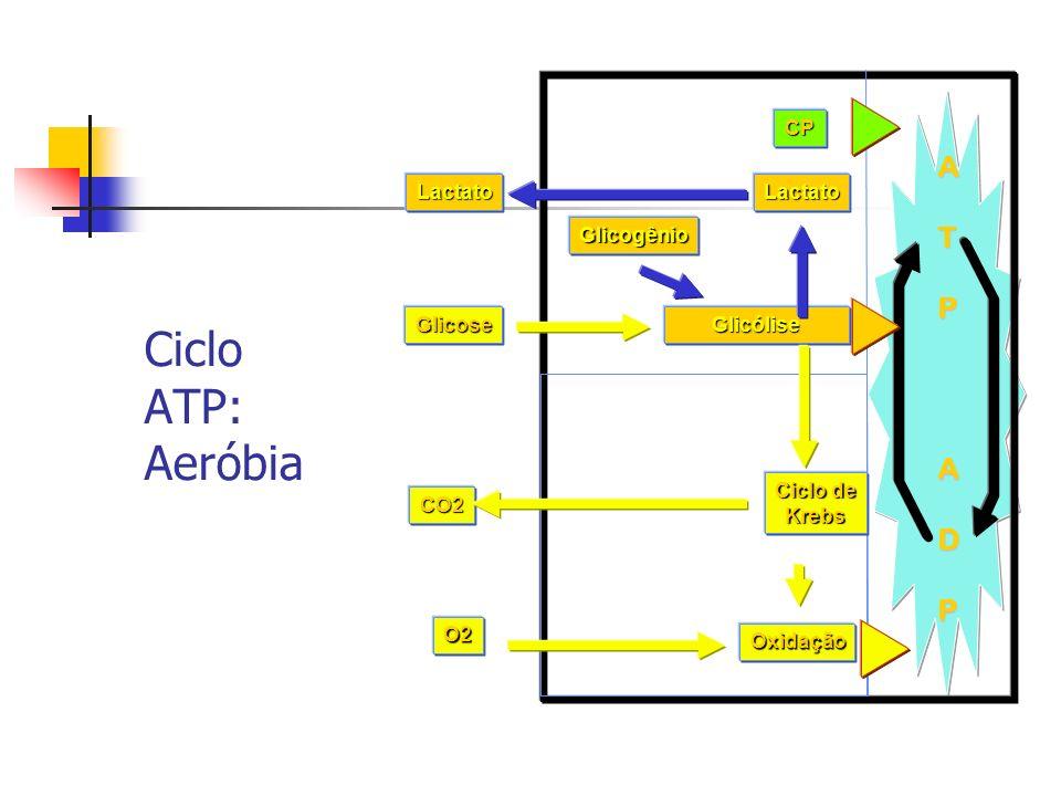 Ciclo ATP: AeróbiaATPADP Glicogênio Glicólise Oxidação Ciclo de Krebs O2 CO2 Glicose CP LactatoLactato