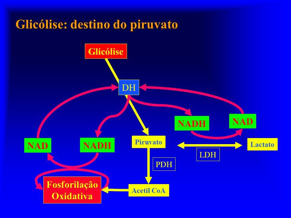 Glicólise: destino do piruvato Lactato NAD Piruvato Glicólise LDH NADH DH NAD Fosforilação Oxidativa Acetil CoA PDH