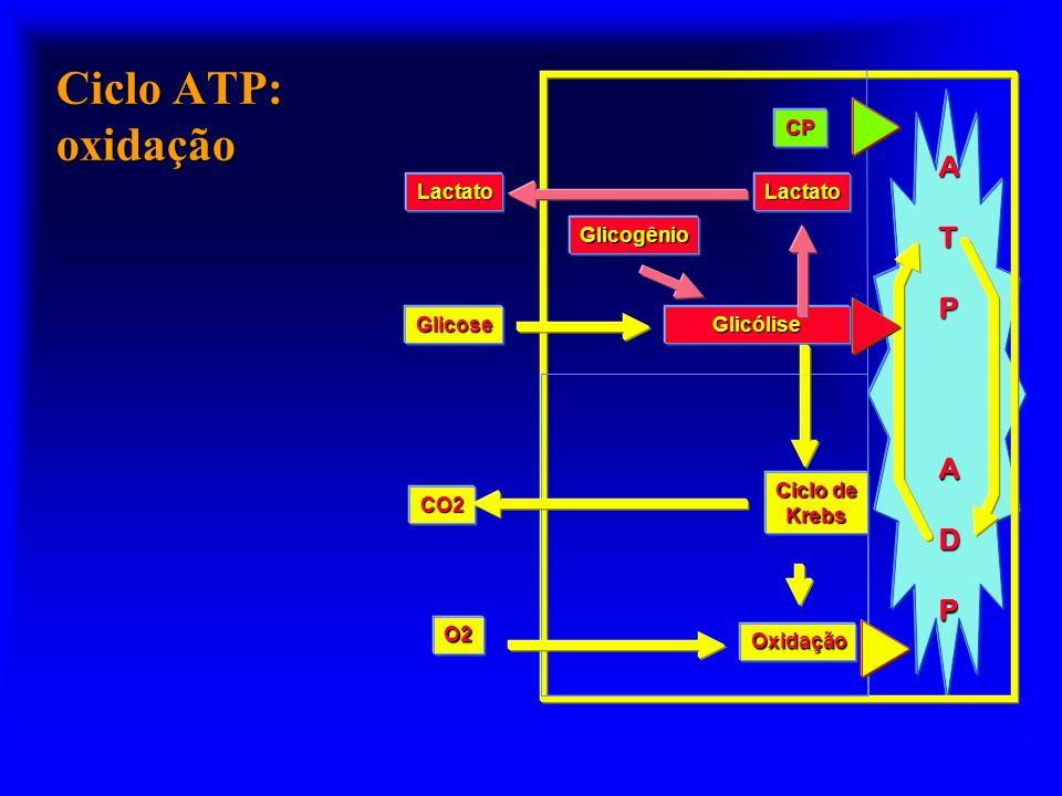 Ciclo ATP: oxidação ATPADP Glicogênio Glicólise Oxidação Ciclo de Krebs O2 CO2 Glicose CP LactatoLactato