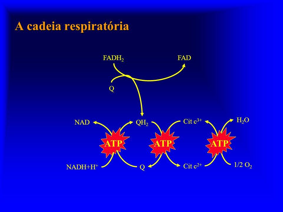 A cadeia respiratória NAD NADH+H + QH 2 Q Cit c 3+ Cit c 2+ H2OH2O 1/2 O 2 FADH 2 FAD Q ATP