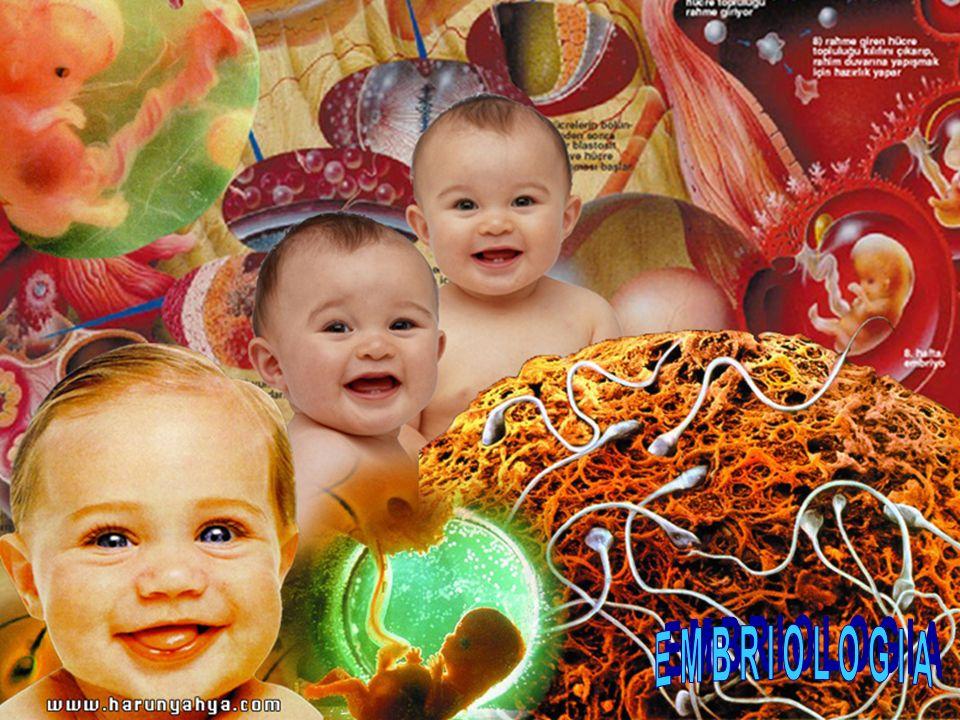 Origem: parede do âmnio, saco vitelino e alantóide Função: ligar a placenta ao embrião Estrutura: 2 artérias e 1 veia protegidas pela gelatina de Wharton CORDÃO UMBILICAL