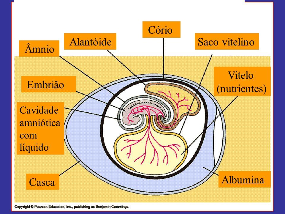 Cório Alantóide Âmnio Saco vitelino Embrião Casca Albumina Cavidade amniótica com líquido Vitelo (nutrientes)