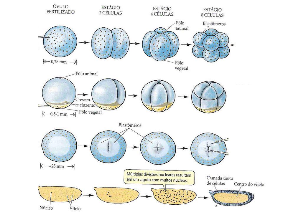 ÂMNIO Origem: ectoderme e mesoderme Ocorrência: répteis, aves e mamíferos Funções: proteção contra choques mecânicos, desidratação e manutenção da temperatura.