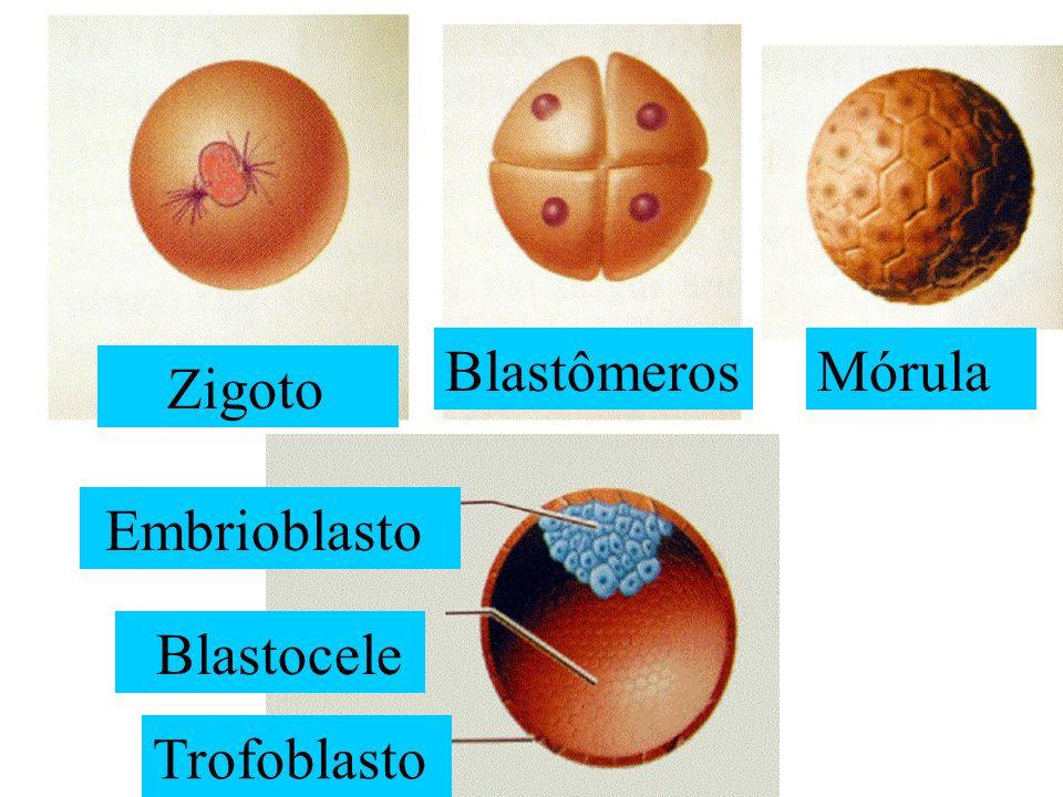 Zigoto BlastômerosMórula Embrioblasto Blastocele Trofoblasto