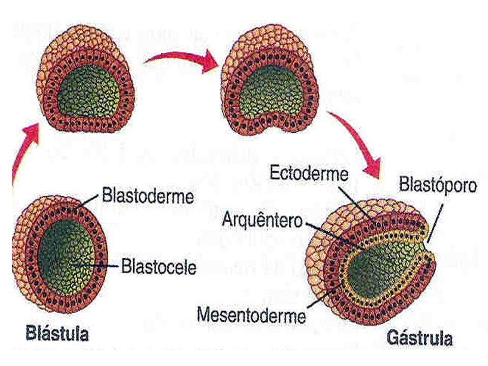 Trofoblasto Embrião Endométrio Embrião Cavidade amniótica Citotrofoblasto Sinciotrofoblasto