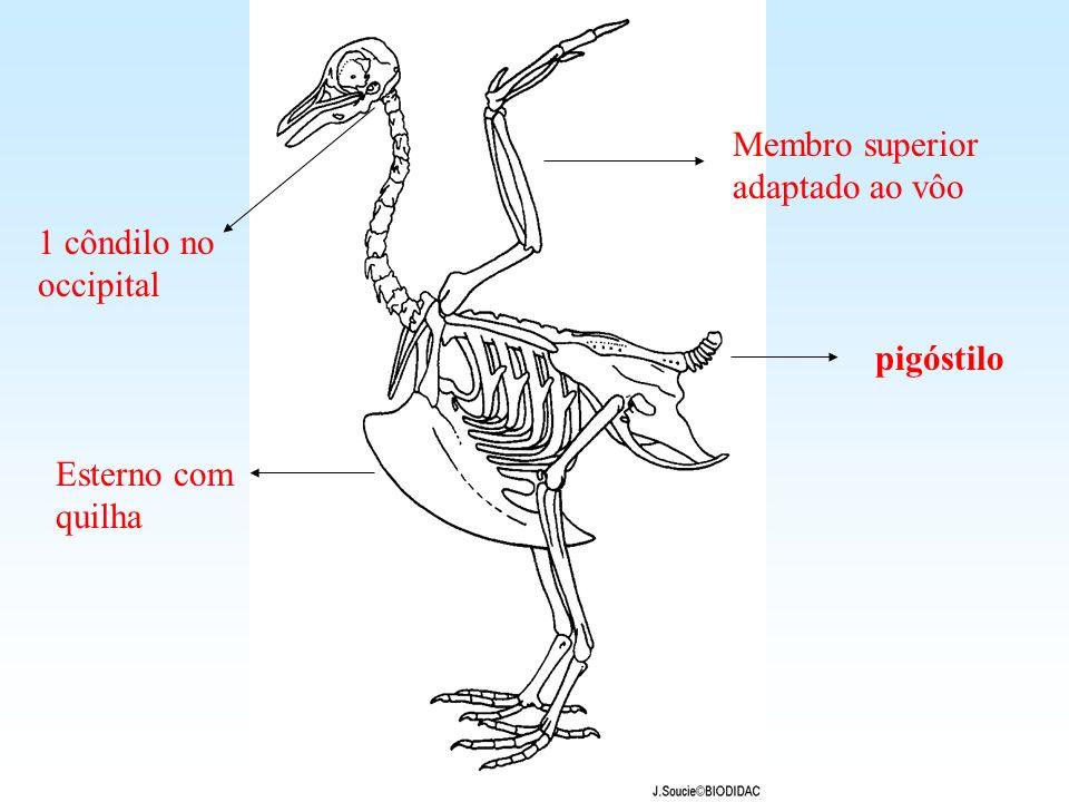 Esterno com quilha 1 côndilo no occipital pigóstilo Membro superior adaptado ao vôo