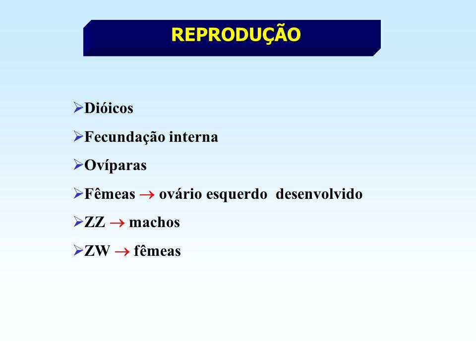 REPRODUÇÃO Dióicos Fecundação interna Ovíparas Fêmeas ovário esquerdo desenvolvido ZZ machos ZW fêmeas